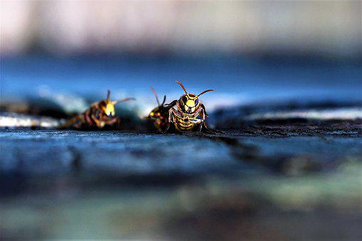 Vespa Crabro, Hornet, Wasp, Sting, Nest, The Hive