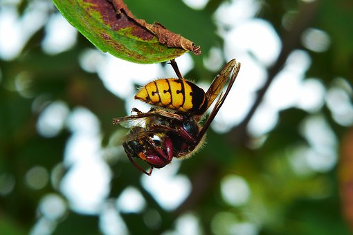 European Hornet, Insect, Victim, Bee, Food, Eating