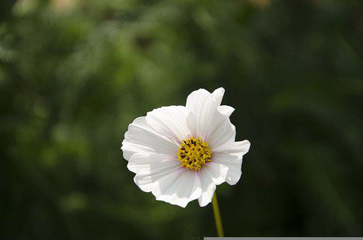 Flower, White Flower, Nature, Summer, Kosmeya Dayparty
