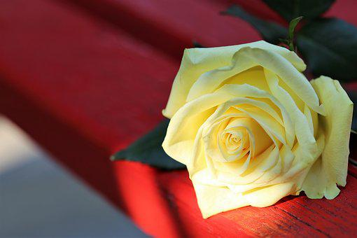 Yellow Rose On Red Bench, Flower, Sunset, Decoration