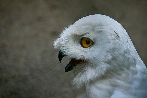 Owl, Snowy Owl, Eye, Bird, Raptor, Plumage, Animal