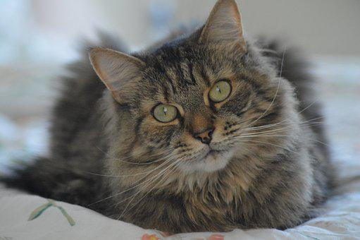Cat, Tabby, Pet, Animal, Portrait, Domestic, Cute