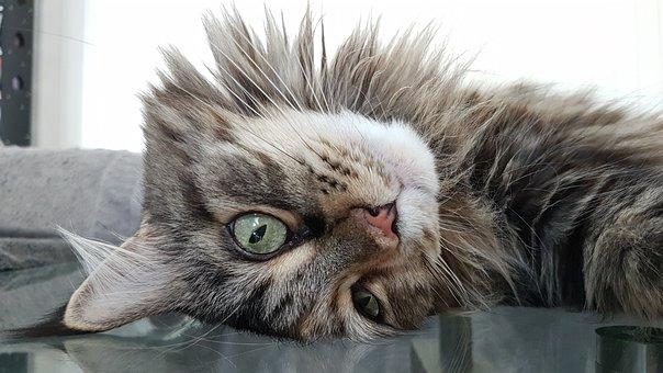 Cat, Maine Coon, Pet, Cat Face, Animals, Mainecoon