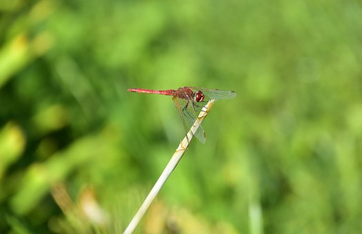 Dragonfly, Insect, Insects, Wings, Animals, Beautiful