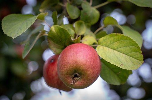 Apple, Apple Tree, Red, Green, Ripe, Fruit, Fruit Tree