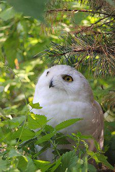 Owl, Snowy Owl, Bird, Raptor, Attention, Nocturnal