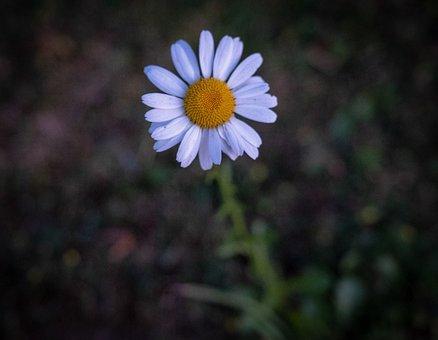 Flower, Geese Flower, Margarite, Nature, Daisy, Blossom