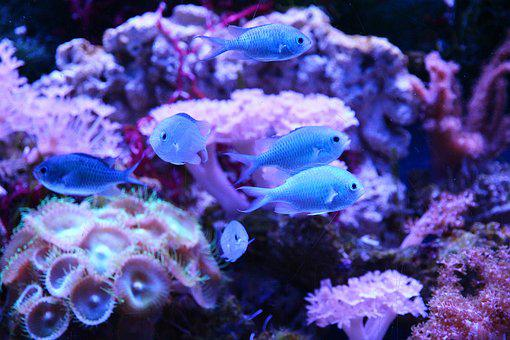 Green Chromis, Chromis Viridis, Chromis Blue-green