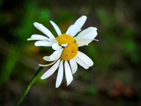 Double, Daisy, Flower, Summer, Nature, Petals