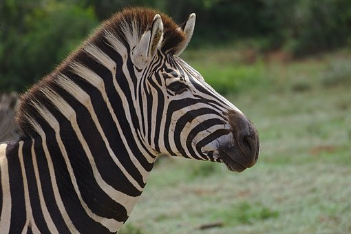Zebra, Young, Animal, Addo, Elephant, National, Park