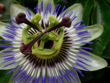 Passion, Flower, Flowers, Exotic