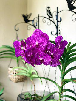Wanda, Orchids, Flower, Flowers, Exotic, Orchid