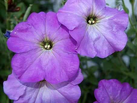 Petunias, Flower Petunia, Flowers, Flowering, Spring