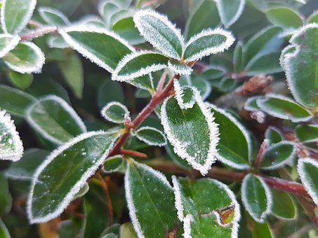 Frost, Winter, Leaves, Plant, Ice, Cold, Green