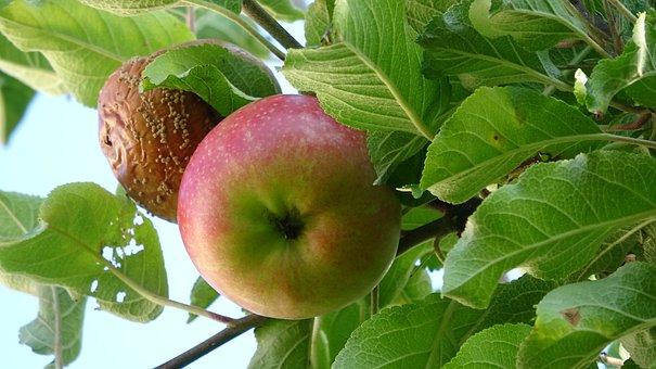 Fruit, Apple, Food, Vitamins, Harvest, Kernobstgewaechs