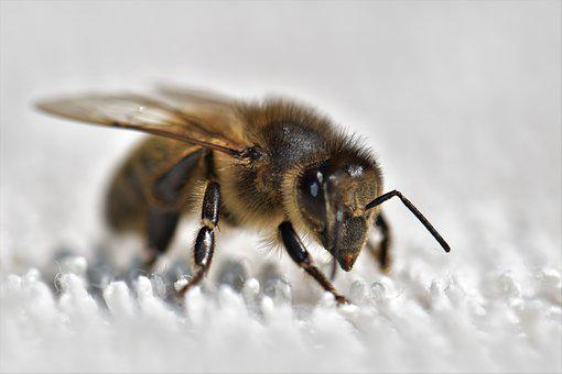 Bee, Honey Bee, Insect, Pollen, Nature, Close Up, Macro