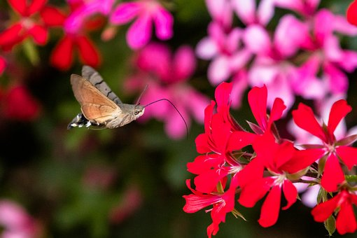 Butterfly, Hummingbird Hawk Moth, Insect, Summer