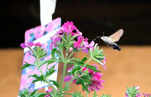Hummingbird Hawk Moth, Hummingbird Moths, Moth