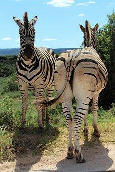 Africa, South Africa, National Park, Zebra, Zebras
