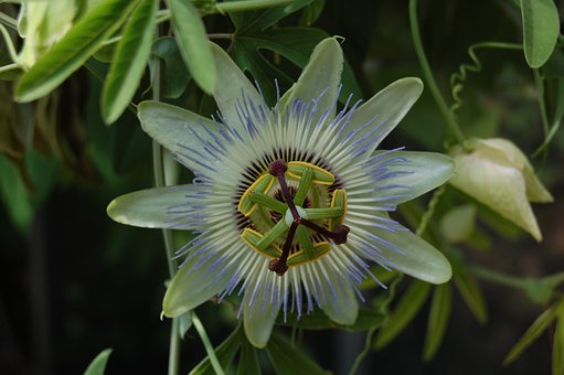Flower, Exotic, Fruit-of-the-passion, Nature, Plant