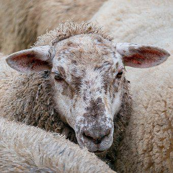 Sheep, Herd, Wave, Animals, Mammal, Nature, Countryside