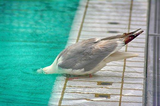Seagull, Outdoor Pool, Water, Swimming Pool, Swim, Blue