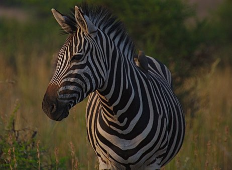 Zebra, Animal, Pilanesberg, National, Park, South