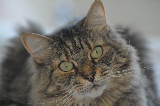 Cat, Tabby, Portrait, Pet, Animal, Fur, Cute, Sweet