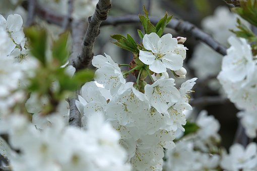 Cherry Blossom, Spring, Branch, Pink, Close Up, Heyday