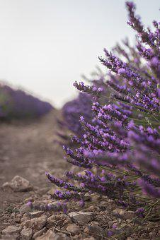 Lavender, Plant, Brihuega, Guadalajara, Violet, Flower