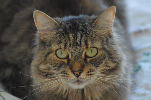 Cat, Tabby, Animal, Pet, Portrait, Fur, Domestic, Cute