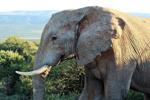 Africa, Close Up, Proboscis, Tusks, South Africa