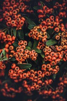 Plant, Shrub, Fruits, Orange, Pyracantha, Nature