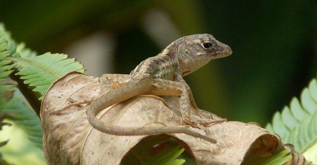 Gecko, Lizard, Reptile, Animal, Exotic, Nature