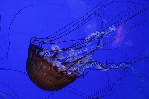 Jellyfish, Pacific Sea Nettle, Ocean, Sea, Aquarium