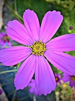 Flower, Cosmea, Cosmos, Ornamental Plant, Shrub