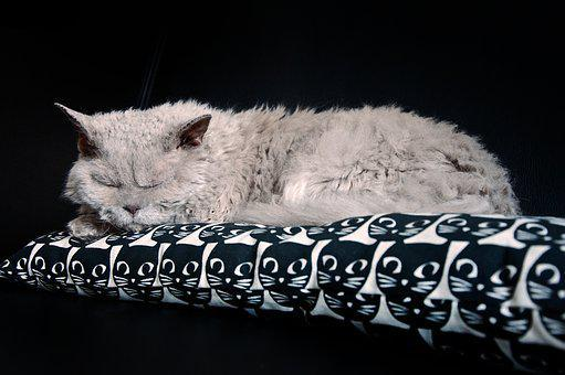 Cat, Sleep, Sleepy, Pet, Animal, Domestic Cat, Lilac
