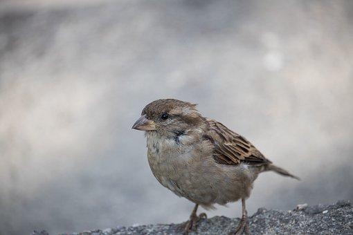 Sparrow, Sperling, Bird, Animal, Animal World, Close Up