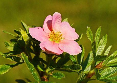 Summer Flower, Ground Cover, August, Summer, Blossom