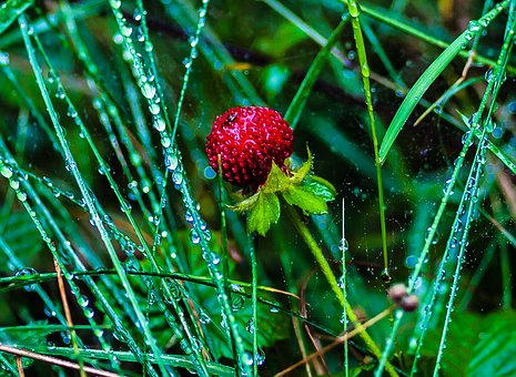 Wild Strawberries, Nature, Summer, Red, Fruit, Berry
