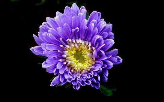 Flower, Aster, Blue, Garden, Nature, Summer, The Petals