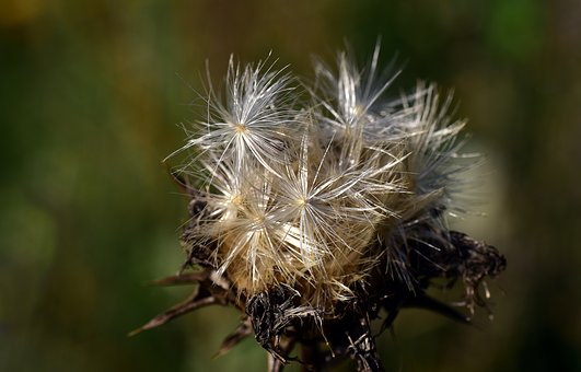 Flying Seeds, Thistle Seed, Slightly, Thistle, Plant
