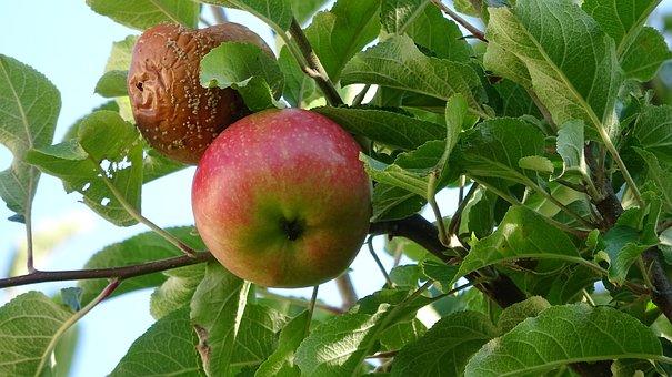 Apple, Fruit, Lazy, Fresh, Red, Healthy, Vitamins, Ripe
