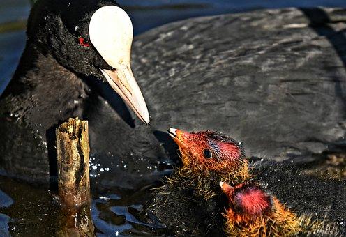 Coot, Bird, Water Bird, Chick, Juvenile, Parent, Young