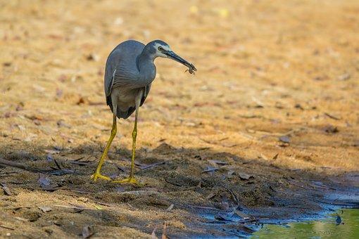 Australia, Birds, White-faced Heron