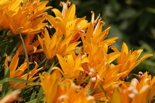 Saranki, Lily, Flowers, Nature, Yellow, Summer Flowers