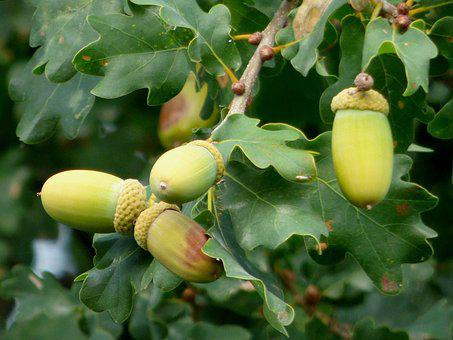 Acorns, Oak, Nature, Fruit, Tree, Green, Fall, Leaves