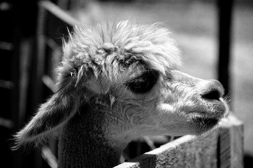 Alpaca, Animal, Wildlife, Nature, Mammal, Wool, Peru