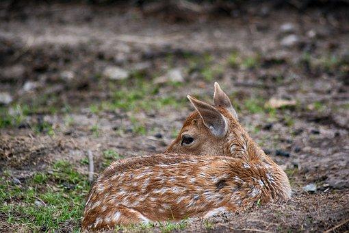 Roe Deer, Fawn, Mammal, Wild, Nature, Animal World
