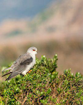 Black-winged Kite, Black-shouldered Kite, Kite, Avian